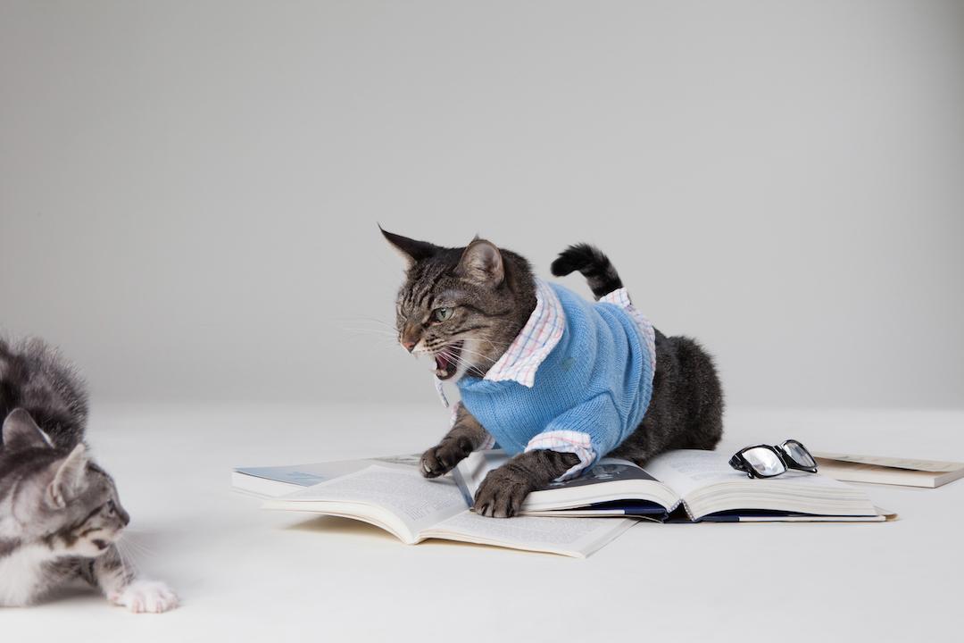 Cat in blue sweater fighting